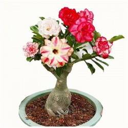 5 pcs seemned desert rose...