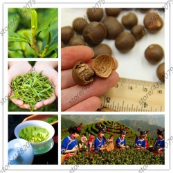 5pcs seeds Green Tea Tree...