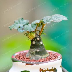 Bonsai Dorstenia Crispa