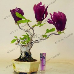 10 pcs Magnolia bonsai,rare...